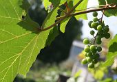 stock photo of penticton  - kept pace with grapes on the vine in Siberia - JPG