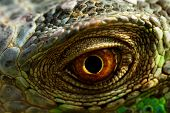 stock photo of dragon head  - macro of a fantastic green iguana eye - JPG