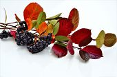 picture of aronia  - The branches of Aronia with berries and colorful autumn leaves - JPG