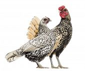 stock photo of bantams  - Golden Sebright Bantam rooster and silver Sebright bantam hen - JPG