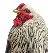 picture of brahma  - Close up of a Brahma Rooster - JPG