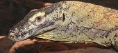 stock photo of komodo dragon  - A Close Up of a Komodo Dragon or Komodo Monitor - JPG