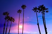 stock photo of row trees  - California high palm trees purple sunset sky silhouette background USA - JPG