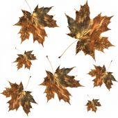 Burnished Golden Maple Leaves poster