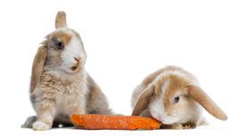 stock photo of dwarf rabbit  - Two Satin Mini Lop rabbits eating a carrot - JPG