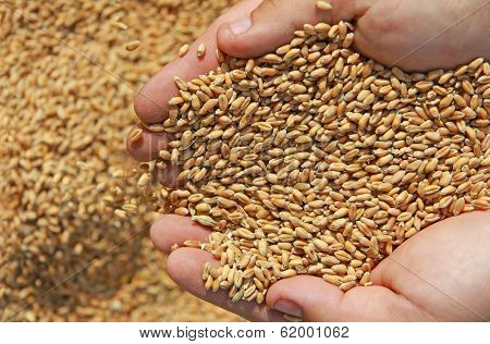 Wheat in a hand
