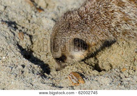 Single Funny Looking Meerkat (aka Suricate)