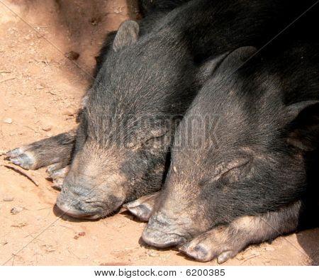 Sleeping Black Piglets