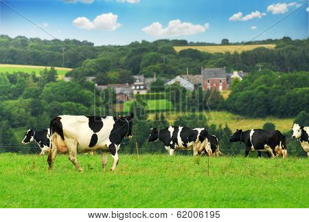 Cows grazing in a green pasture in rural Brittany, France.