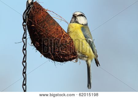 Parus Caeruleus Feeding On Coconut With Lard