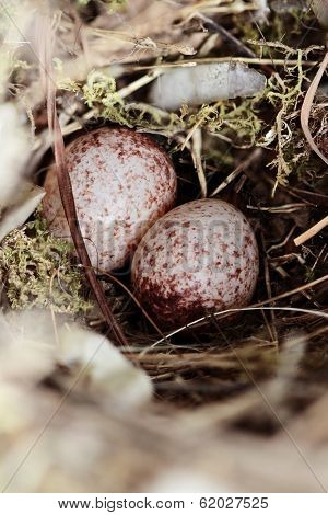 Wrens Nest With Eggs