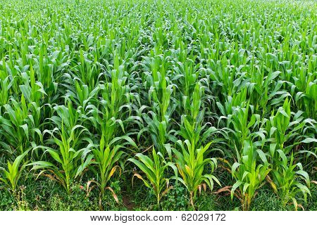 Corn Farm Field In Thailand