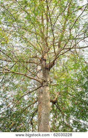Old Tamarind Tree In Thailand