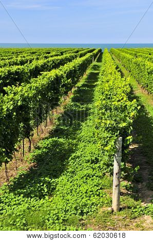 Rows of young grape vines growing in Niagara peninsula vineyard
