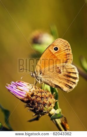 Close up of meadow brown butterfly on knapweed flower