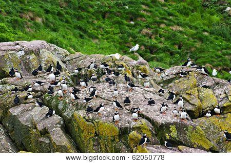 Puffin birds on rocky island in Newfoundland, Canada