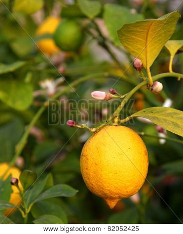 Yellow Lemon Hanging From The Tree In The Orchard