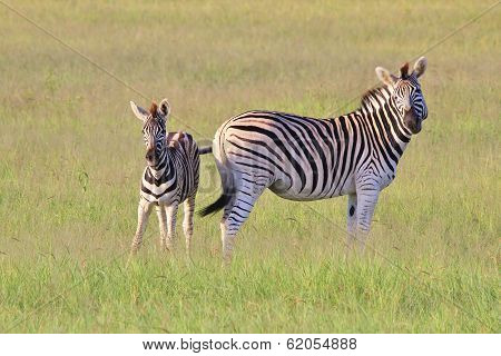 Zebra Background - Wildlife from Africa - Motherly Expressions of Love