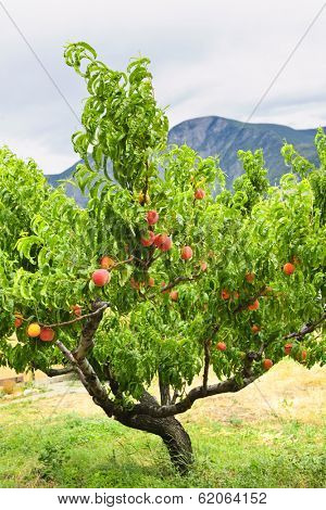 Peach tree with ripe fruit in Okanagan valley, British Columbia Canada