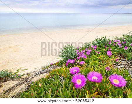 Sea fig or ice plant flowers blooming on Aegean coast in Chalkidiki, Greece