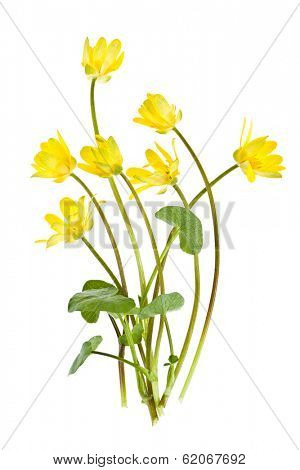 Yellow Lesser Celandine flowers in spring isolated on white background