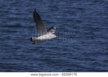 Common Gull Flying Above River