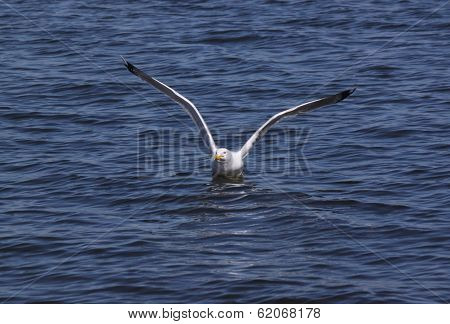 Herring Gull Flushing From Water