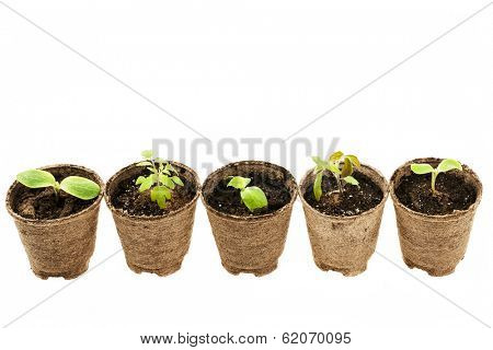 Row of potted seedlings growing in biodegradable peat moss pots isolated on white background
