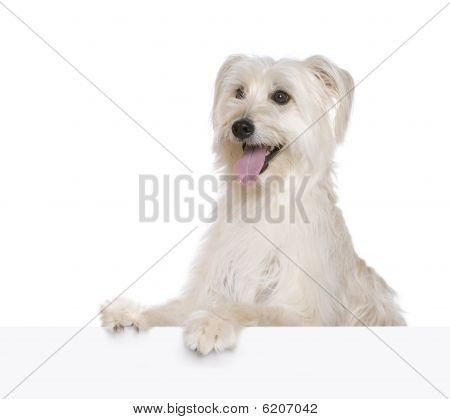 Pyrenean Shepherd, 2 Years Old, In Front Of White Background,