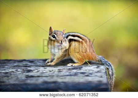 Cute wild chipmunk with one stuffed cheek standing on wooden log