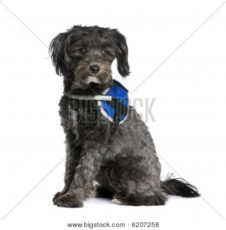Bastard Dog, 2 Years Old, Sitting In Front Of White Background