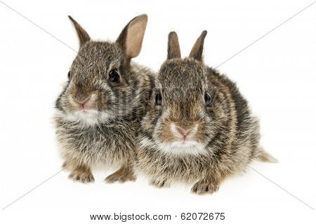 Portrait of two baby wild cottontail rabbits isolated on white background