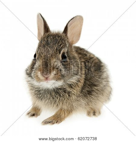 Portrait of baby cottontail bunny rabbit isolated on white background