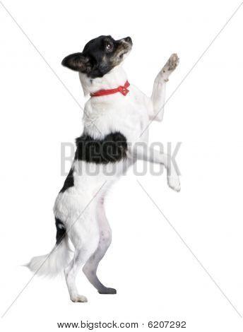 Bastard Dog In Red Handkerchief, Walking On Hind Legs