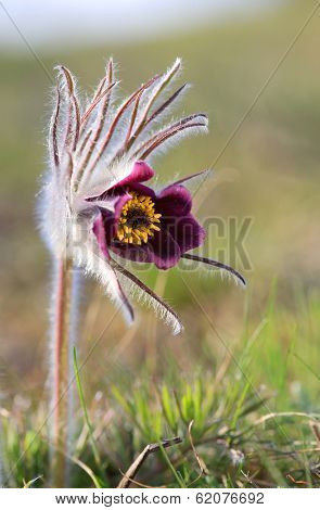 nice pasque flower in spring time