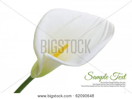 Beautiful white Calla lily isolated on white background