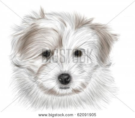 Hand drawing - portrait puppy Coton de Tulear - colored