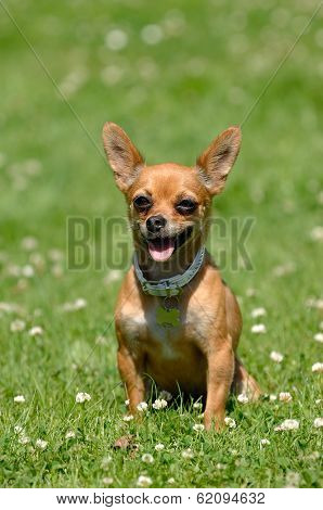 Chihuahua puppy dog is sitting on green grass
