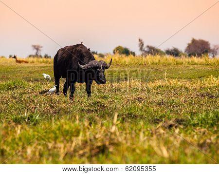 Big Black Buffalo