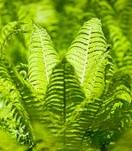 stock photo of fern  - Bright green leaves of a fern as background - JPG