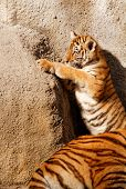 pic of tiger cub  - The tiger cub while climbing wall  - JPG