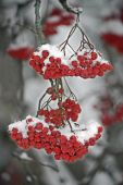 stock photo of mountain-ash  - There has come winter - JPG
