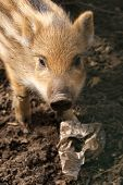 Baby wild boar looking up from plastic rubbish