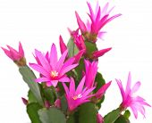 pic of schlumbergera  - Bright Magenta Christmas Cactus isolated on white - JPG