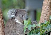stock photo of eucalyptus trees  - A Koala Eucalyptus Tree in Sydney Australia  - JPG