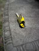 pic of songbird  - Bright yellow Hooded Warbler songbird lying dead on a park bench - JPG