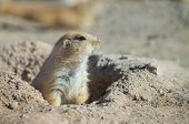 image of prairie  - Cute little Prairie dog in a Prairie dog town - JPG