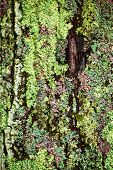 picture of lichenes  - Multicolored lichens growing on bark of tree trunk closeup - JPG