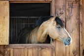 stock photo of buckskin  - Curious brown horse looking out stable window - JPG