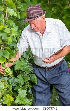 Senior winemaker in vineyard before harvest